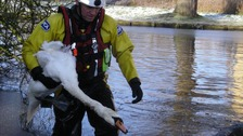 An RSPCA officer rescues a swan