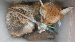 This fox was found in a box with its mouth taped around a stick