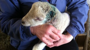 Nelson the Lamb had his ears cut off