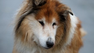 rough collie dog called babs