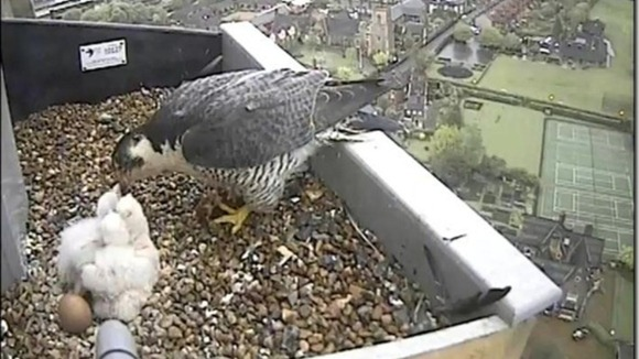 Peregrine 10th May