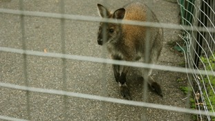 The stray wallaby named Jean.