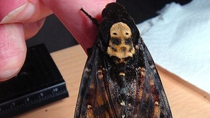 he Death's Head Hawkmoth was spotted by staff at the Ricoh Factory in Shropshire today.