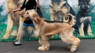 An Afghan Hound with an exceptionally curly tale takes part in the dog show.