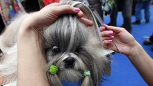Lyalya, a Shih Tzu dog, is groomed by her trainer before taking part.