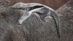 A 10-day-old baby anteater born at Marwell Zoo clings to its mum