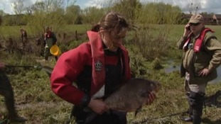 Environment Agency staff have rescued 230 fish from receding floodwater