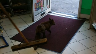 Clear off! The shop assistant shows the fox who's boss.