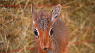 Neo -   the dik-dik Antelope
