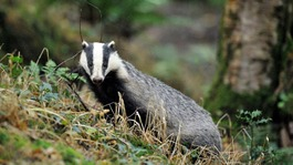 Govt: Glos badger cull 'a success'