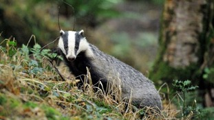 The badger cull in Gloucestershire will end at 12pm tomorrow.
