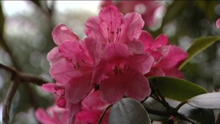 Rhododendrons at Sheringham Park are beginning to flower