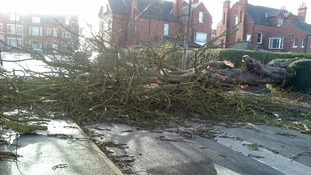 A fallen tree in Goole after yesterday's high winds