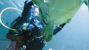 A diver catches the resident green sea turtle, which will be moved to neighboring Great Yarmouth Sea Life Centre.