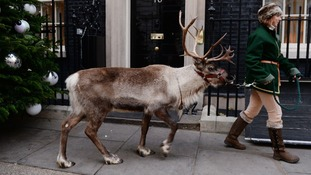 A reindeer leaves Downing Street after the party.
