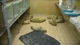 Animal centre inundated with seal pups
