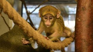 The baby De Brazza was born at Twycross Zoo seven weeks ago