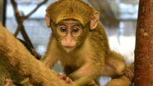 First pictures of cute baby monkey born at Twycross Zoo