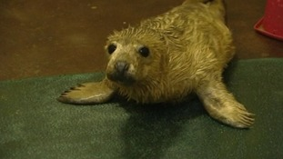 One of the seal pups at the East Winch Wildlife Centre in Norfolk.