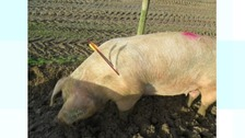 Pig shot with crossbow