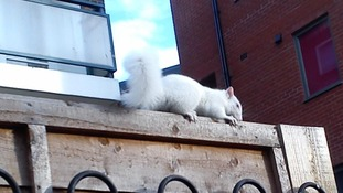 'Extremely rare albino squirrel' caught on camera in south London