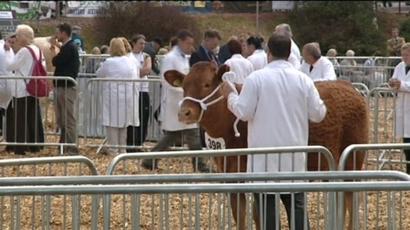 cattle at Devon County Show 2011