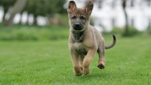 Young pedigree dogs are most at risk of being stolen