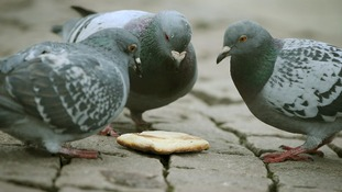 Pigeons in Trafalgar Square.
