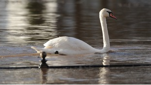 Swans swim through flood waters in Worcester after the River Severn burst its banks this week