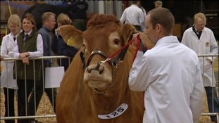 cattle judging at Devon County Show