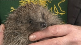 Rescue Centre appeal after flood of hedgehogs