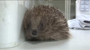 A prickly problem for animal welfare centre