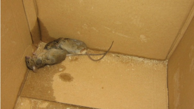restaurant fined after dead mice found meridian itv news rh itv com mice in basement can't find opening mice in basement ceiling