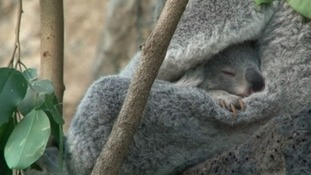 Keepers at Edinburgh Zoo get first look at baby koala