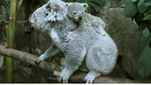 Yooranah, a koala joey, takes a ride on his mother's back