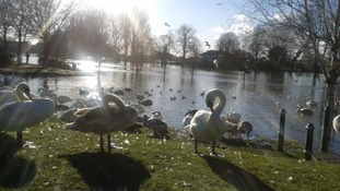 Swans on South Quay in Worcester
