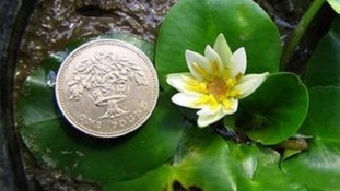 World's smallest waterlily stolen after being dug up