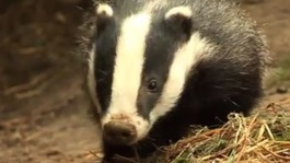 Cost of policing badger cull revealed