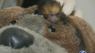 The newborn monkey sits on top of a toy dog as it is cleaned.