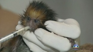 The golden lion tamarin h drinks human breast milk from a syringe.