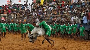 A villager tries to control a bull during the bull-taming festival
