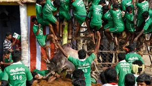 A villager is pinned down by a bull as others climb a fence to protect themselves