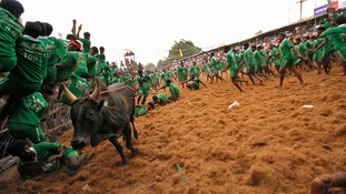Villages cling to fences as a bull tears past