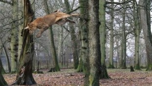 A lioness leaps from a tree in the park