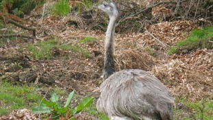 The emu in Maesycwmer