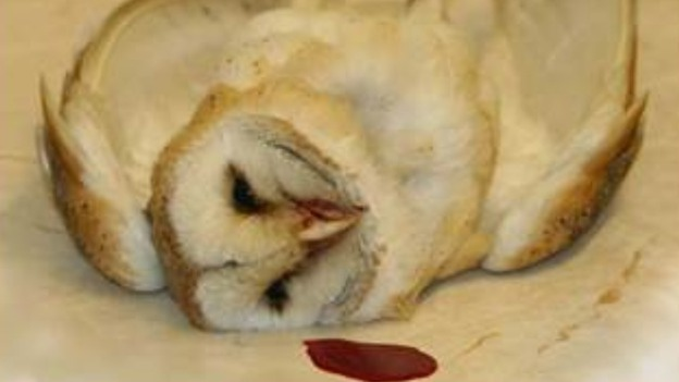 Barn Owl Eating
