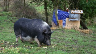 What a pigsty! Locals build shelter for lonely pig
