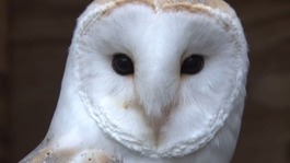 Owl trust campaigns against use of rat poison