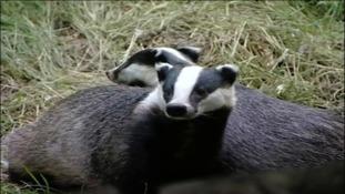 Cute badgers