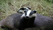 Cute badgers